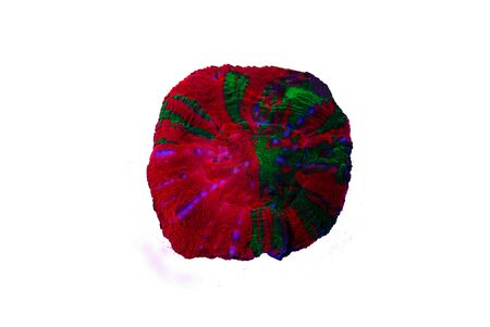 Scolymia Large Polyp Stony coral - Scolymia wellsii