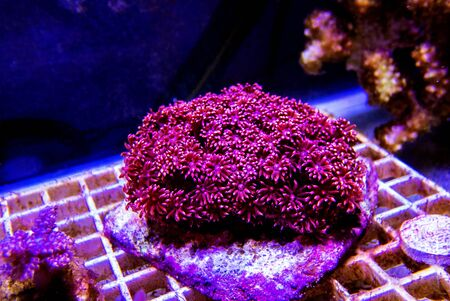 Red Flower Pot LPS Coral - (Goniopora sp.)