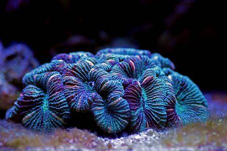 Wellsophyllia folded open brain LPS coral Stock fotó