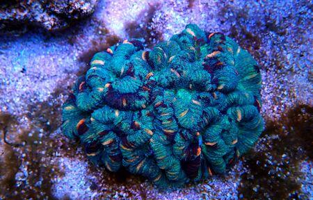 Wellsophyllia folded open brain LPS coral
