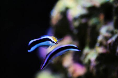 Bluestreak cleaner wrasse - Labroides dimidiatus