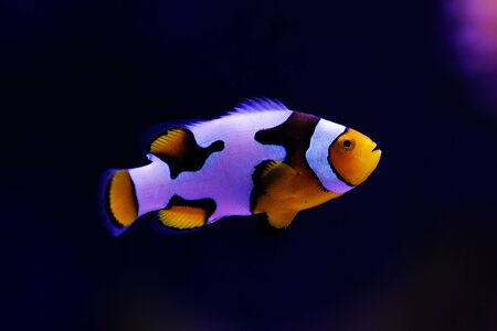 Black-ice Snowflake clownfish - 8th generation of hybrid clownfishes