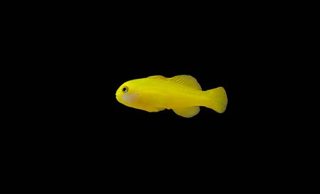 Yellow clown coral goby isolated in aquarium Stockfoto