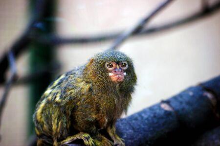 Pygmy marmoset (Cebuella pygmaea) is one of the smallest monkeys in the world Stock Photo