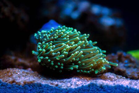 Green Euphyllia Torch LPS coral - Euphylliidae Glabrenscens Stock fotó