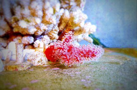 Red Chili Coral - Alcyonium palmatus 版權商用圖片
