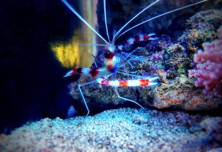 Boxer banded coral shrimp - Stenopus hispidus 版權商用圖片