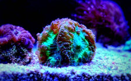 Blastomussa wellsi - Big Polyp Blastomussa LPS Coral 版權商用圖片