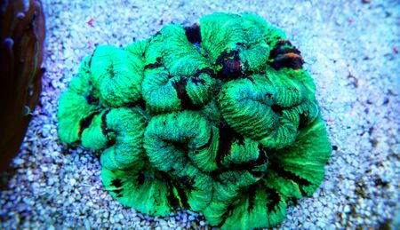 The Folded Brain Coral - (Wellsophyllia radiata)