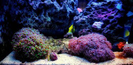 Amazing colorful Euphyllia divisa aka Frogspawn LPS coral 版權商用圖片