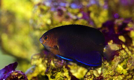 Pygmy Yellowtail Angelfish - (Centropyge flavicauda) 스톡 콘텐츠