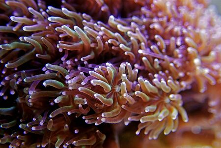 Metalic Long Polyp Galaxea Coral - (Galaxea astreata)