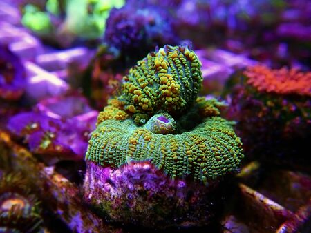 Yellow Claw Rhodactis Mushroom