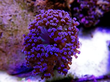 Amazing colorful Euphyllia divisa aka Frogspawn LPS coral