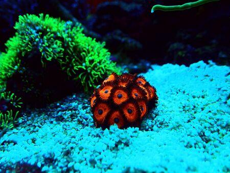 Zoanthids soft polyps - Flowers of the reef aquarium tanks