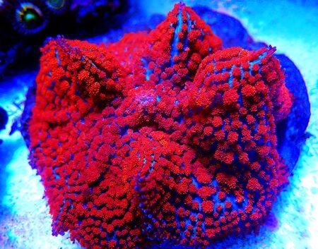 Red & Blue St. Thomas Rhodactis Mushroom 版權商用圖片