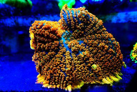 Jason Fox Raunchy Red Mushroom - Anthomastus ritteri