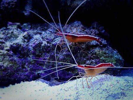 Pacific skunk cleaner saltwater reef shrimp - Lysmata amboinensis 版權商用圖片
