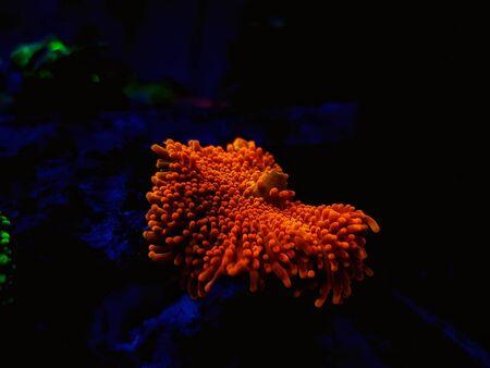Ricordea yuma polyps ear mushroom coral - Ricordeidae sp.