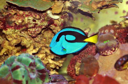 Pacific regal blue tang - Paracanthurus hepatus 版權商用圖片
