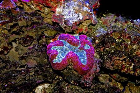 Symphyllia Brain LPS Coral (Symphyllia agaricia) Stock fotó