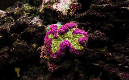 Symphyllia Brain LPS Coral (Symphyllia agaricia)