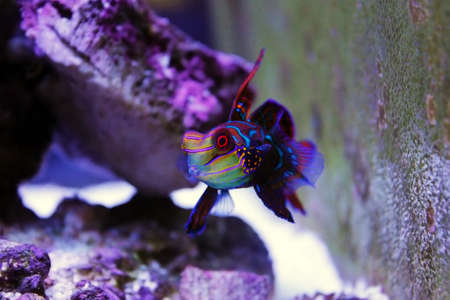 The Mandarin fish, one of the most colorful saltwater fish (Synchiropus splendidus)