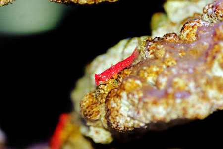 Red Ruby Dragonet fish is amazing natural addition in every reef aquarium