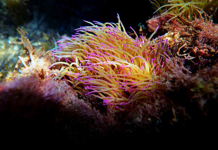 Mediterranean snakelocks sea anemone - Anemonia sulcata