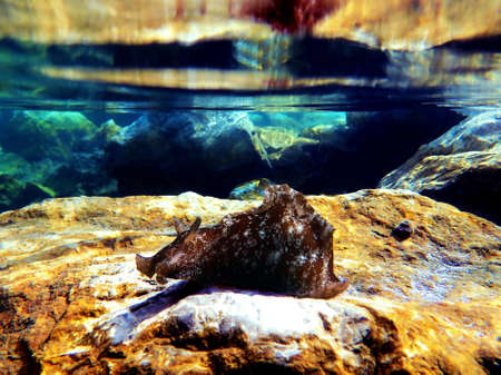 Underwater shot on large sea hare in Mediterranean sea (Aplysia punctata)