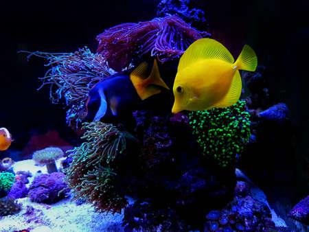 Colorful Saltwater fishes swimming in coral reef aquarium tank Stock fotó