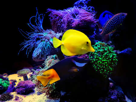 Colorful Saltwater fishes swimming in coral reef aquarium tank