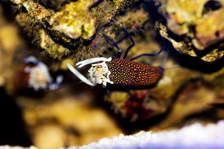 Bumblebee Shrimp - Gnathopyllum elegans is a species of shrimps found in the Mediterranean and the Atlantic Ocean.