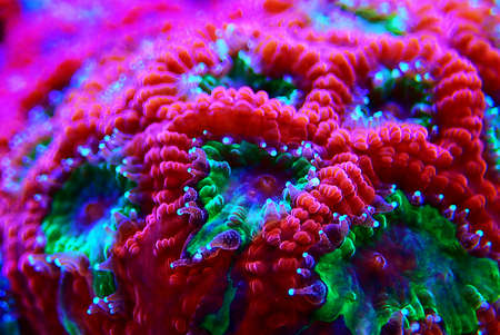 Macro shot on Favia LPS coral Polyps