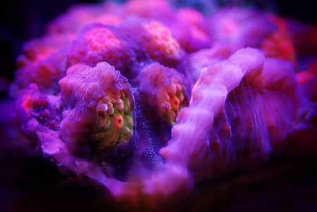Macro photography on colorful Chalice coral in marine aquarium