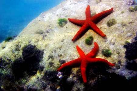 Underwater scene with bright Red Seastar - Echinaster sepositus