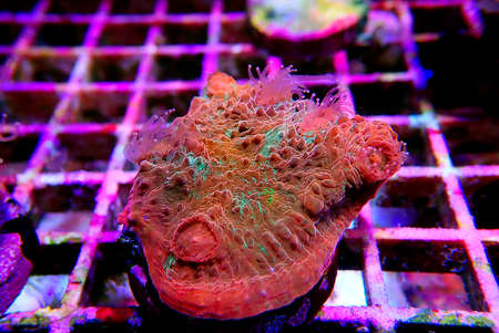 Colorful Chalices LPS coral on frag plug in coral aquarium tank