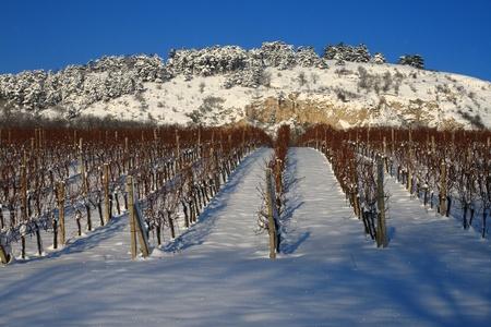 Vineyard in snow photo