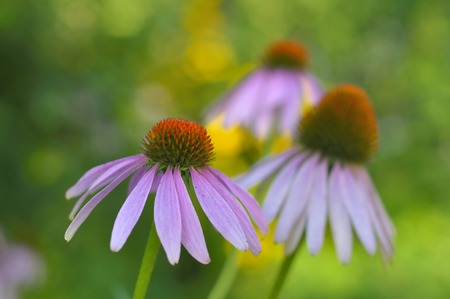 colores calidos: Tres flor cónica púrpura del Este primer plano sobre fondo borroso verde-amarillo en colores cálidos