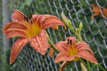 metal mesh: Two flower Orange Daylily Hemerocallis fulva after rain with raindrops on the petals sprouted through a metal mesh Stock Photo