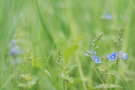 speedwell: Stems Germander speedwell Veronica Chamaedrys with blue flowers on beautiful blurred background of herbs variations in light green Stock Photo