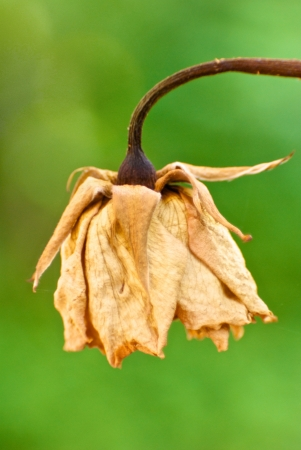 withered flower: Withered flower on green background