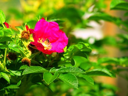 The bee on the dog-rose. Green background