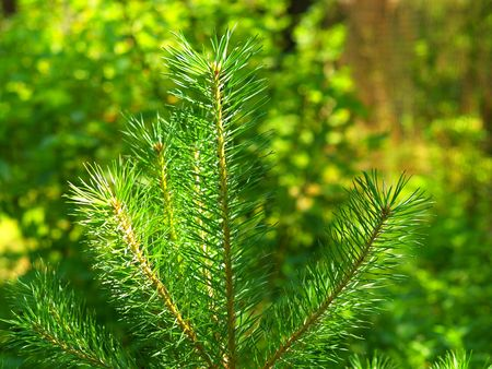 Green pine by the light of the sun.  Stock Photo