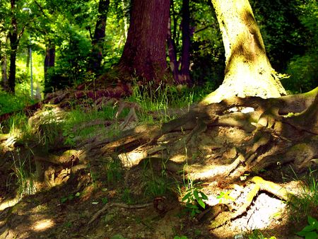 Old roots in wild forest. Summer sunset. Stock Photo