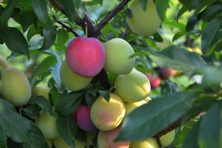 branch of plum tree Stock Photo