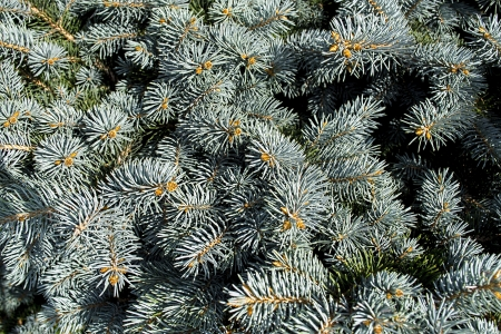 a branch with a blue spruce needles Stock Photo - 22719254