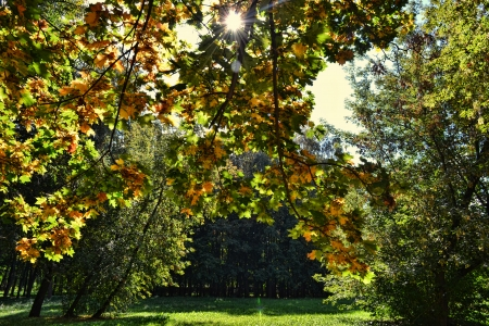 the rays of the sun through the leaves of a maple Stock Photo - 22718021