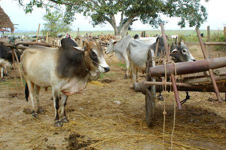 bulls and wooden cart Stock Photo - 692952