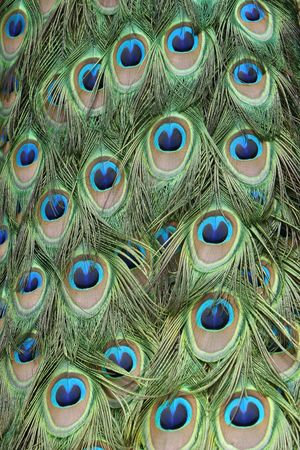 peacock feathers pattern